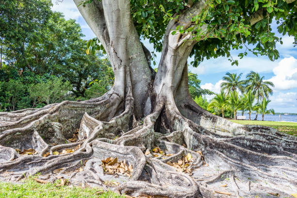 South Florida Banyan Tree stock photo