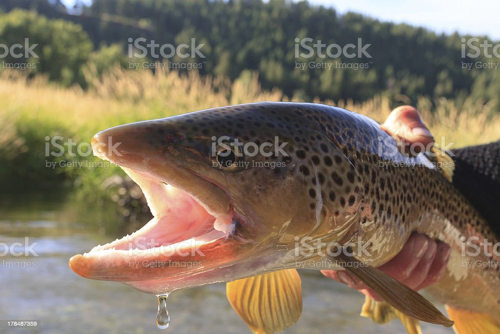 South Fork Brown Trout stock photo
