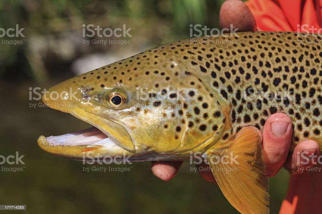 South Fork Of The Snake Brown Trout royalty-free stock photo