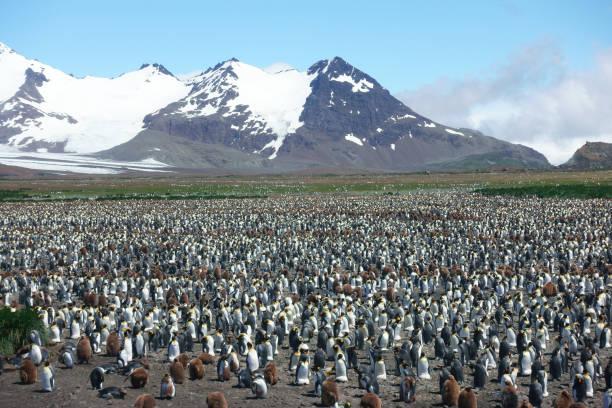 South Georgia Penguin--King Penguin colony stock photo