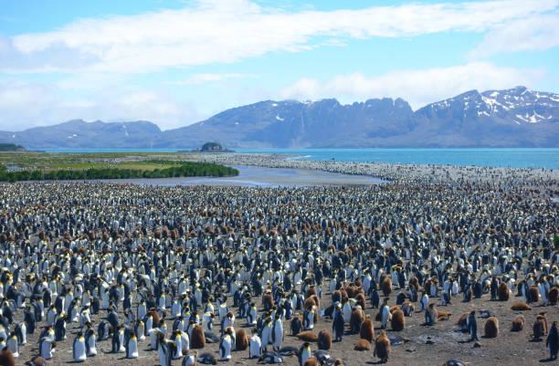 南ジョージア ペンギン--キング ペンギンのコロニー - 南極旅行 ストックフォトと画像