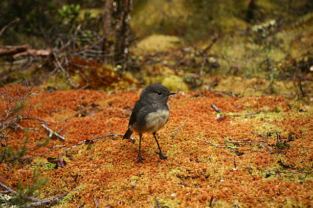 South Island Robin stock photo