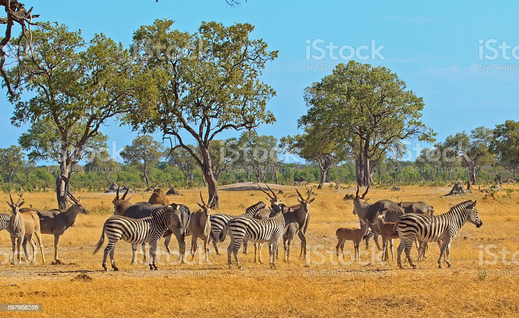 South Luangwa Plains with Zebra & Eland stock photo