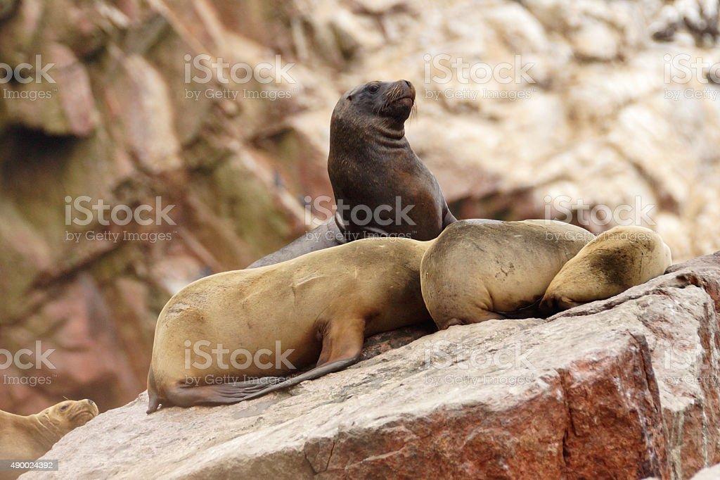 South-American Sea Lion stock photo