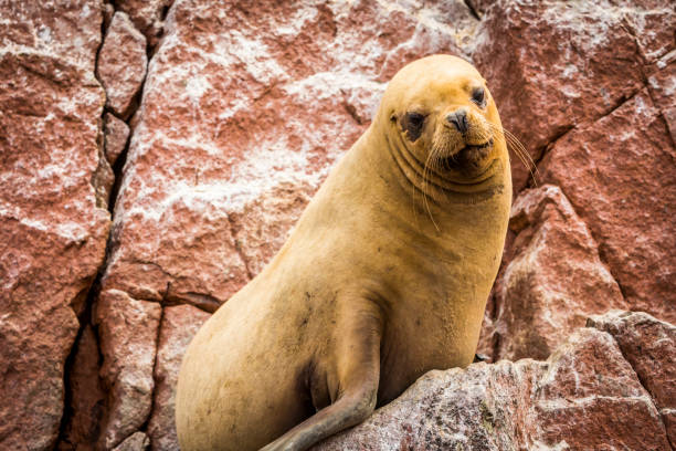 South-American Sea Lions Sea Lions on Ballistas Islands, Peru. south american sea lion stock pictures, royalty-free photos & images