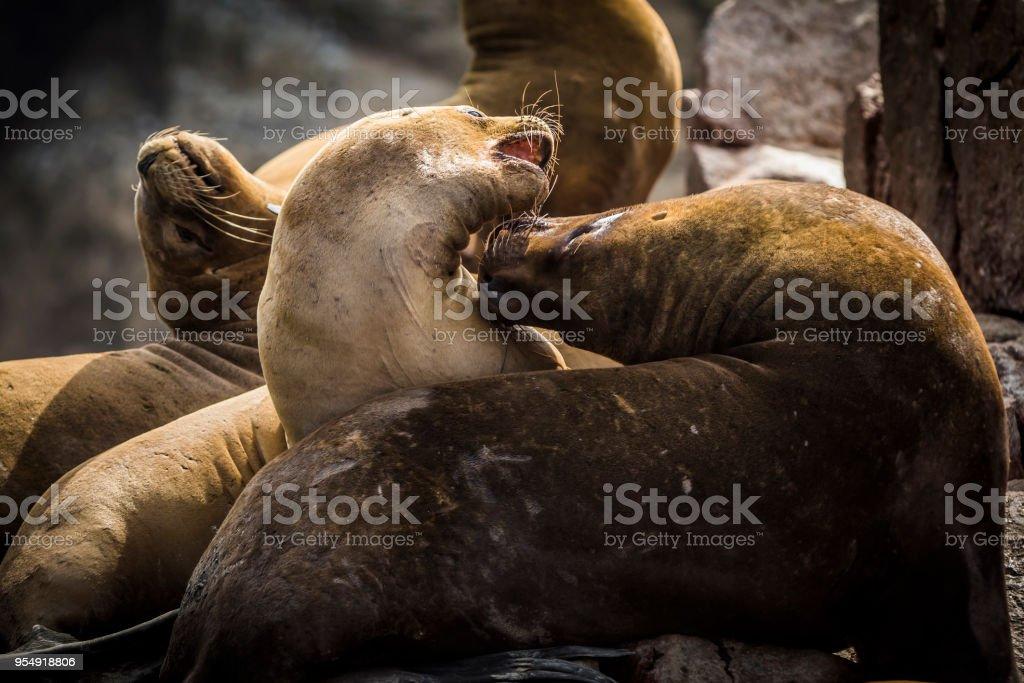 South-American Sea Lions stock photo