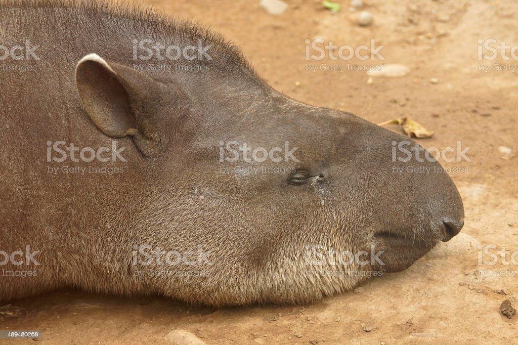 South-American Tapir stock photo