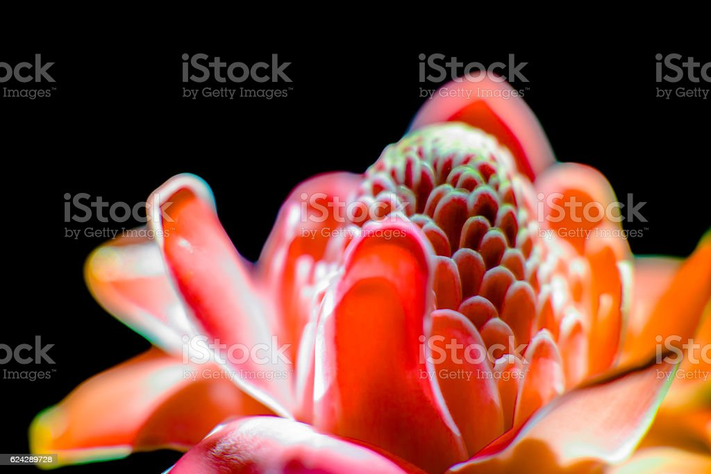 Southeast Asian exotic flower called emperor bat stock photo