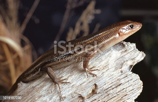 Southeastern Five-Lined Skink (Plestiodon Inexpectatus). Photographed by acclaimed wildlife photographer and writer, Dr. William J. Weber.