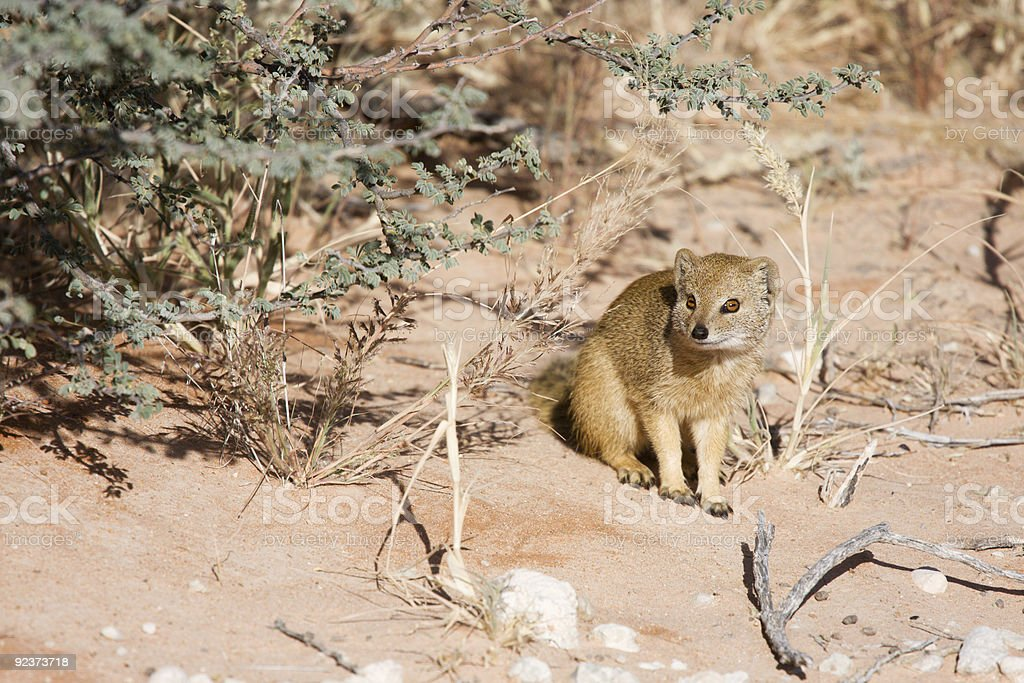 Southern African weasel royalty-free stock photo