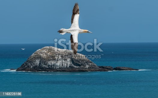 A gannet flying to the gannet breeding colony at Muriwai Beach on the coast of New Zealand. The bird is just above the small island and the horizontal  photo shows the bird, island, sea and blue sky.