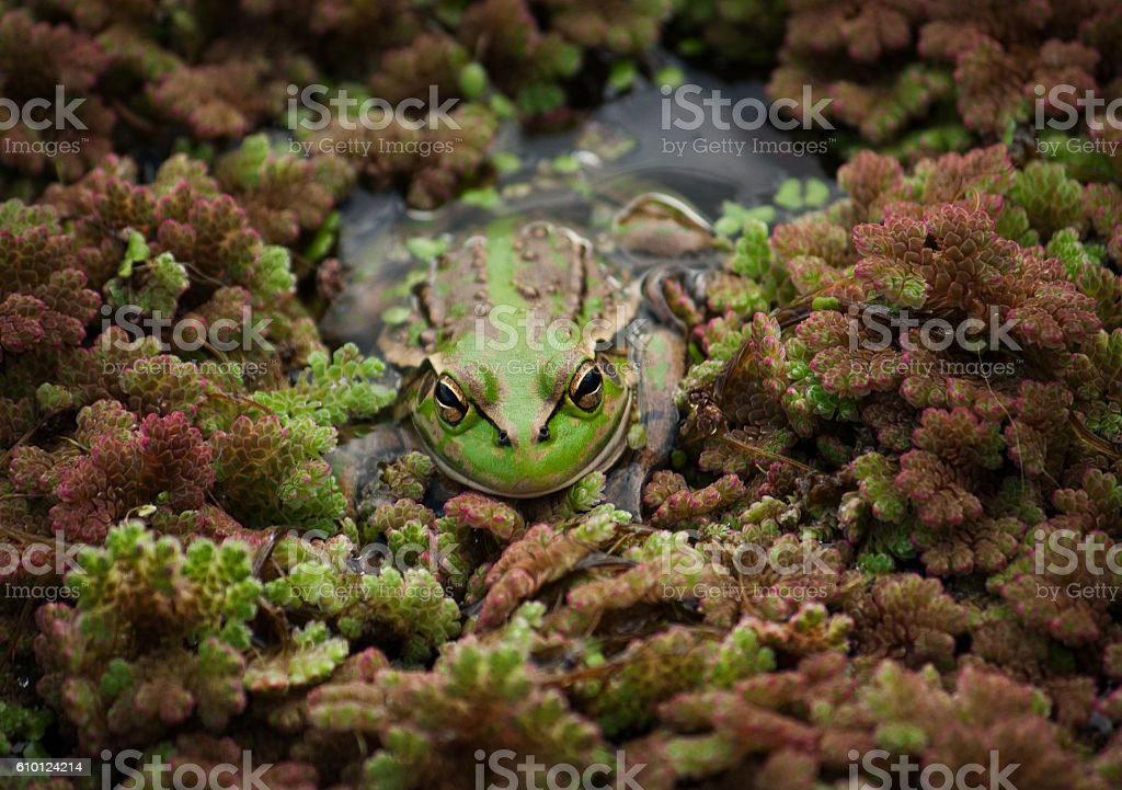 Southern Bell Frog stock photo