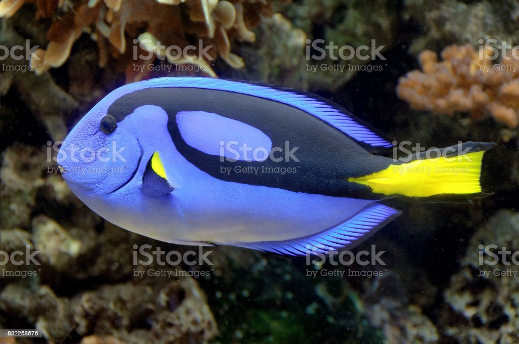 Southern Blue Tang fish stock photo