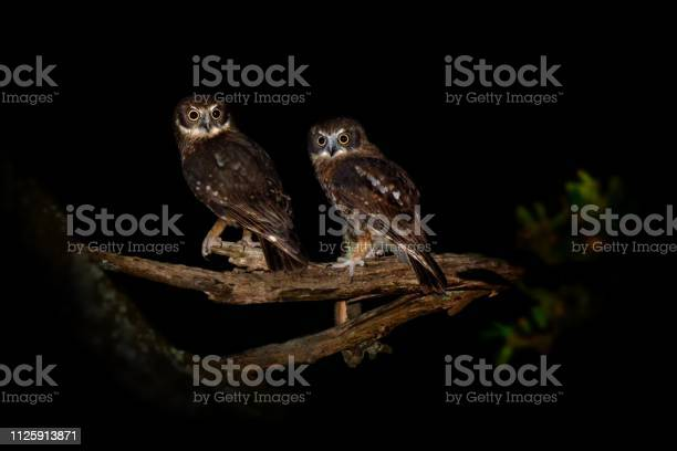 Southern boobook ninox boobook small owl from australia picture id1125913871?b=1&k=6&m=1125913871&s=612x612&h=tdfq4jyyj9s f1bifeosptvvri7vyue92azdjtcgvai=