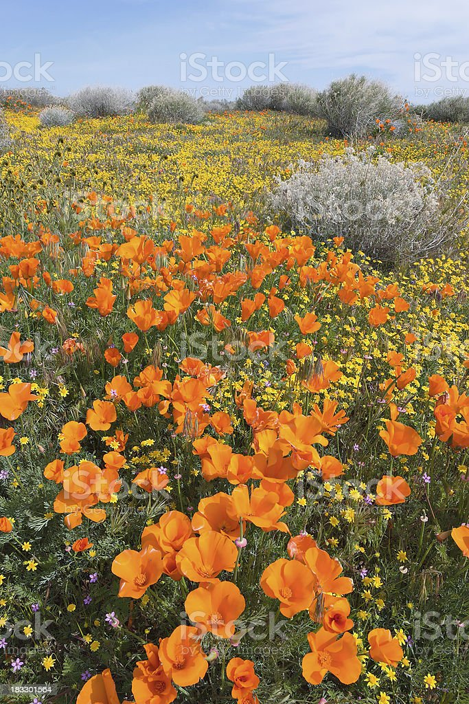 Southern California wildflowers royalty-free stock photo
