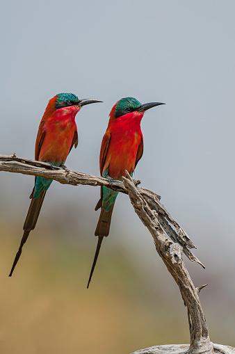 Southern Carmine Bee-eater, Merops nubicoides, Chobe National Park, Botswana, Coraciiformes, Meropidae.\