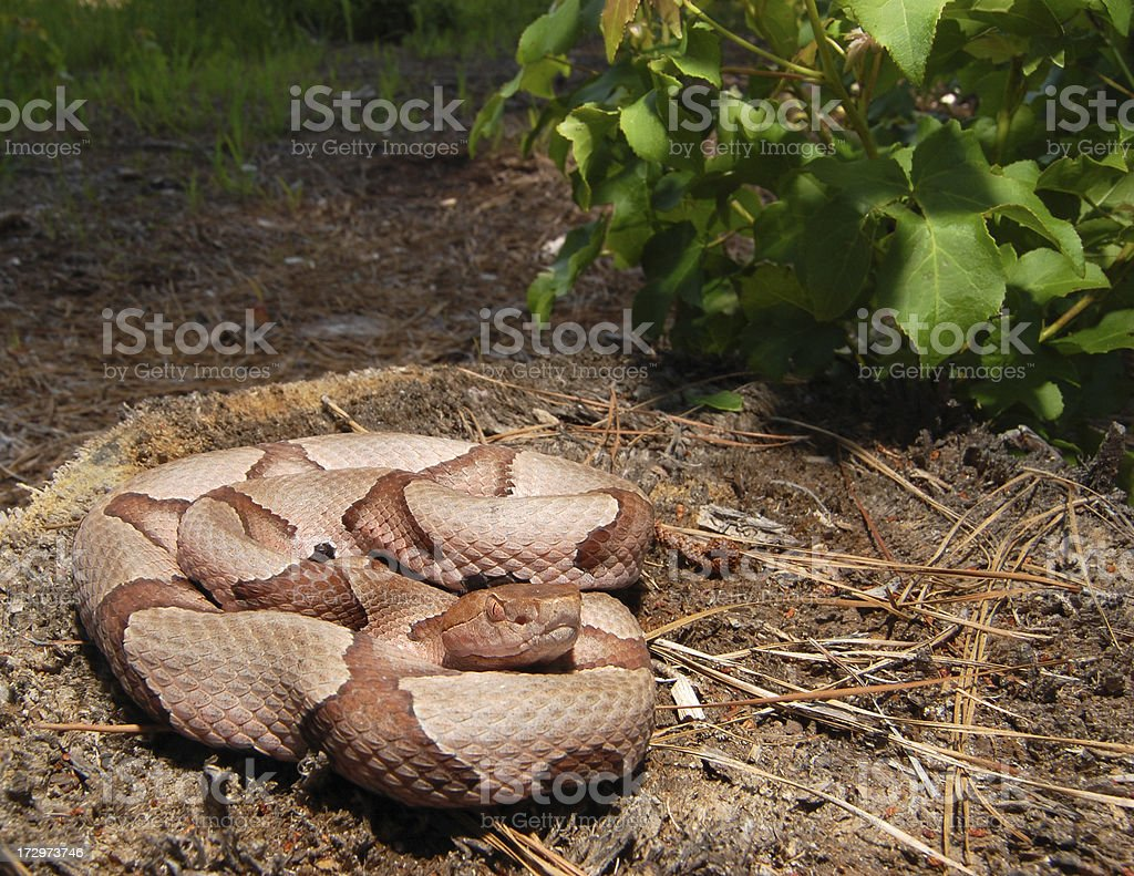 Southern Copperhead Coiled on a Stump (Framed Lower Left) stock photo