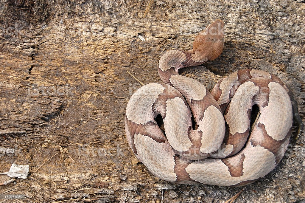 Southern Copperhead Coiled on a Stump (Overhead View) stock photo