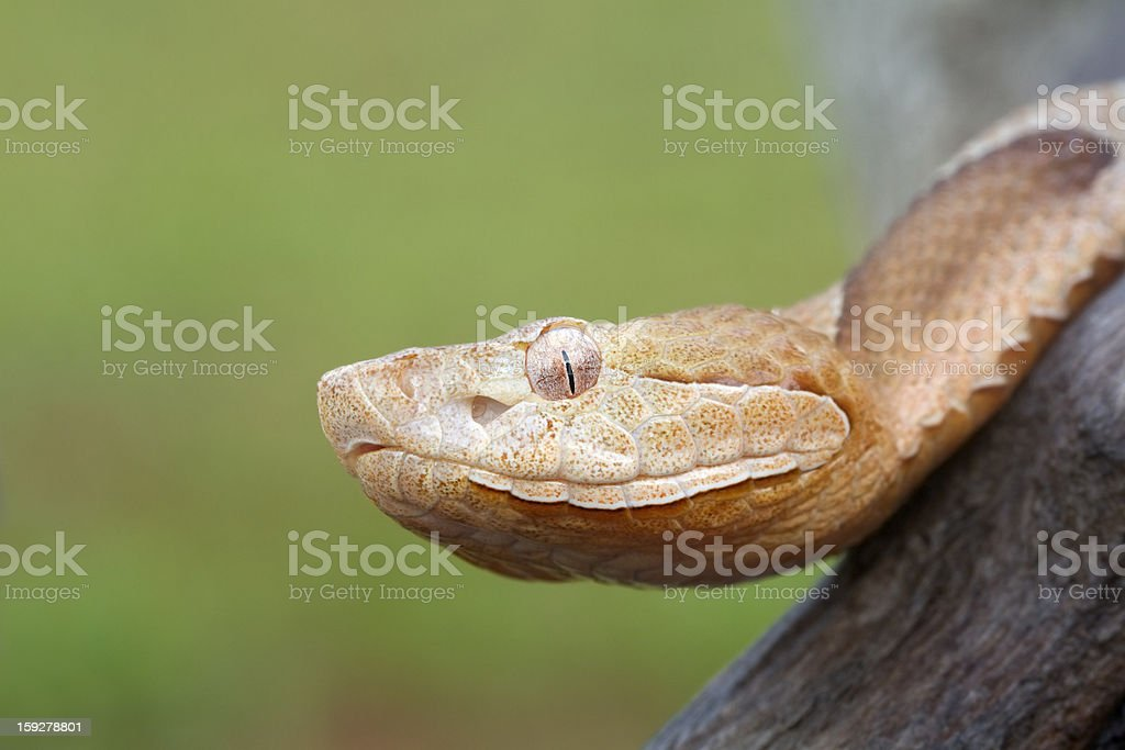 Southern Copperhead Snake stock photo