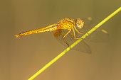 Southern Darter (Sympetrum meridionale) dragonfly resting on reed on tranquil background in Camarque nature reserve, Provence Alpes Cote d'Azur, France