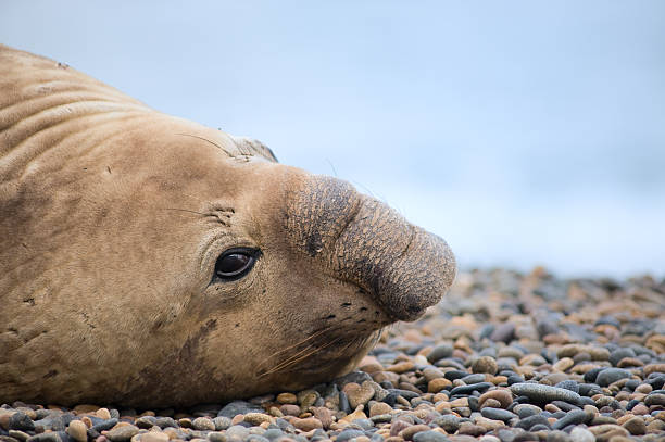 Southern elephant seal, male, Valdes Peninsula.