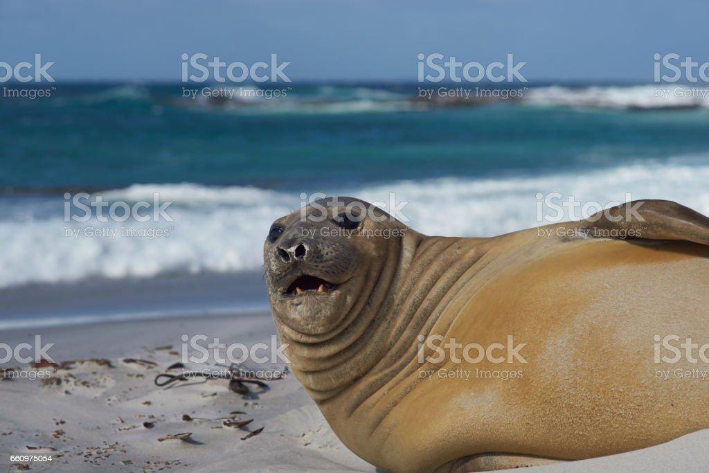 Southern Elephant Seal stock photo