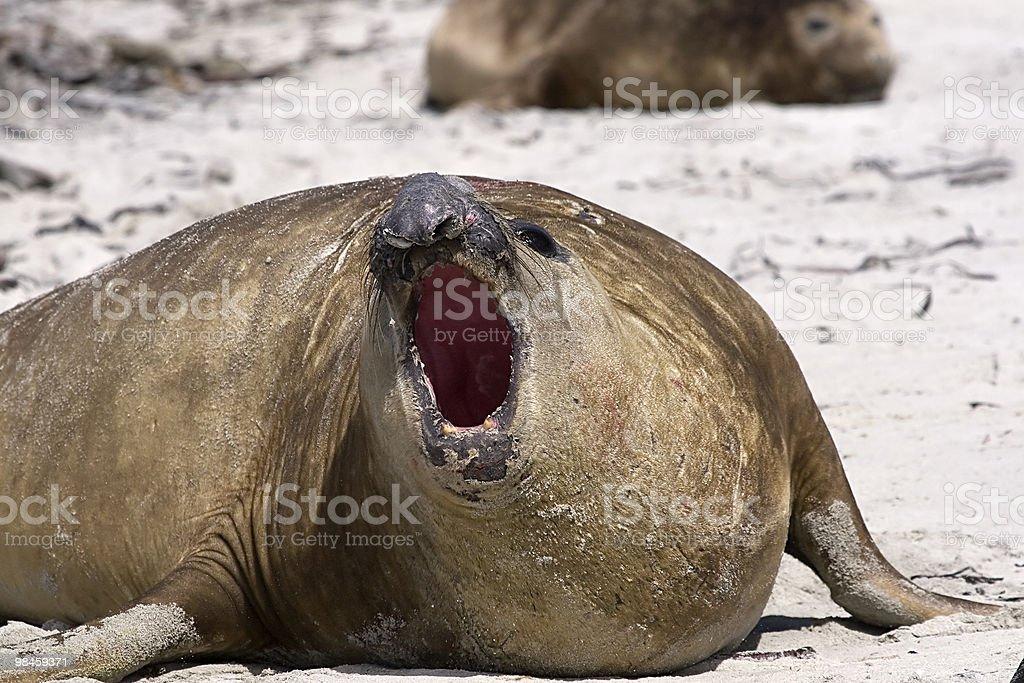 Southern elephant seal (Mirounga leonina) royalty-free stock photo