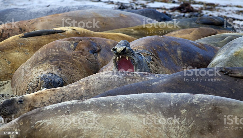 Sur de elefante juntas, las Islas Malvinas foto de stock libre de derechos