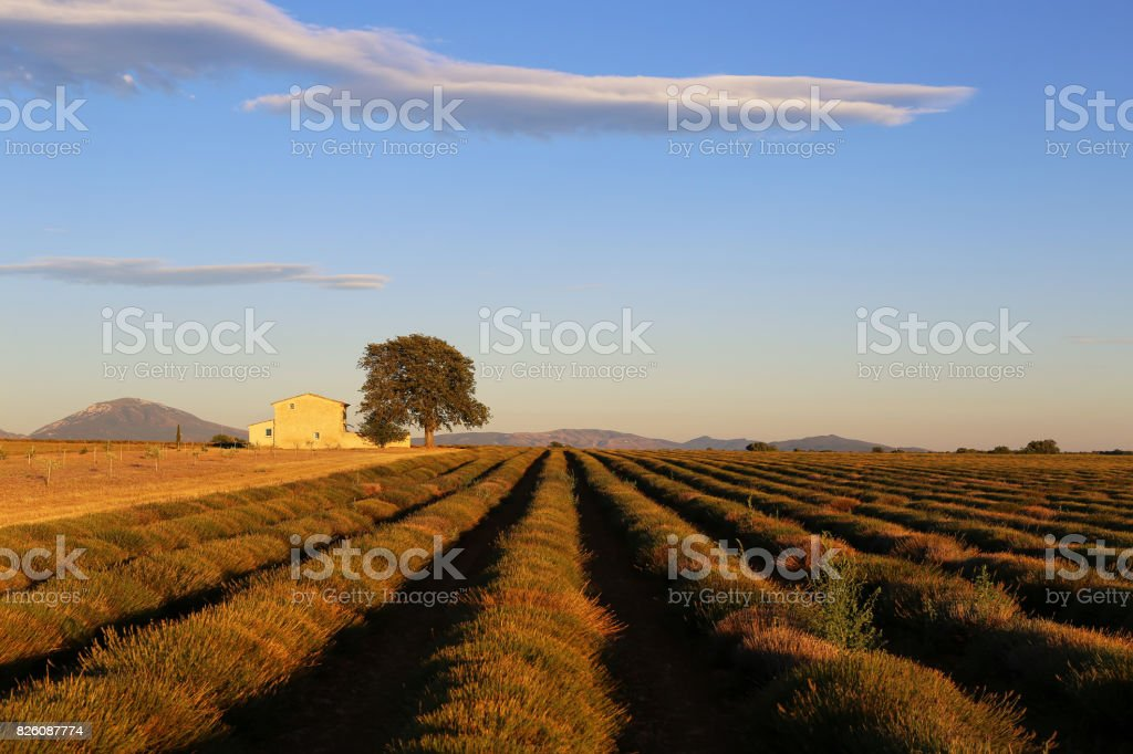 Southern France, sloping lavender field at sunset stock photo