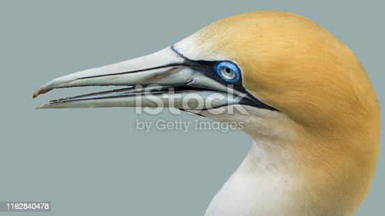 A close-up of a gannet seabird at Muriwai breeding colony in New Zealand. Isolated head and neck horizontal shot.