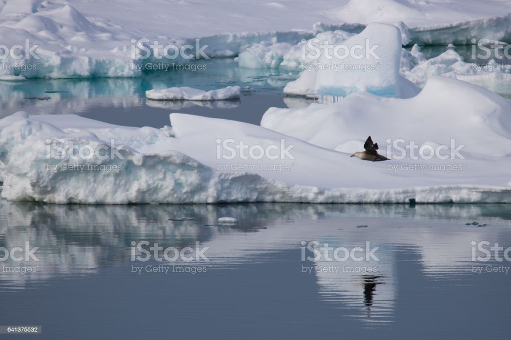 Southern giant petral flying over water and ice in Antarctica stock photo
