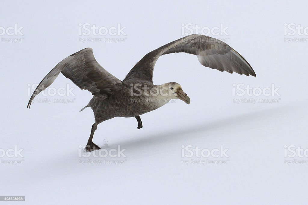 southern giant petrel during take-off from the snow Antarctic Islands stock photo