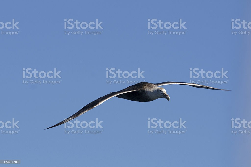 Southern Giant Petrel in flight stock photo