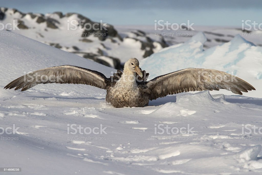 southern giant petrel which sits in the snow stock photo