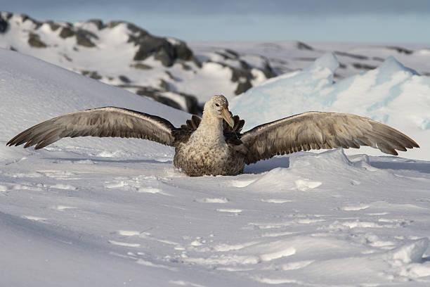 Pétrel géant antarctique qui se trouve dans la neige - Photo