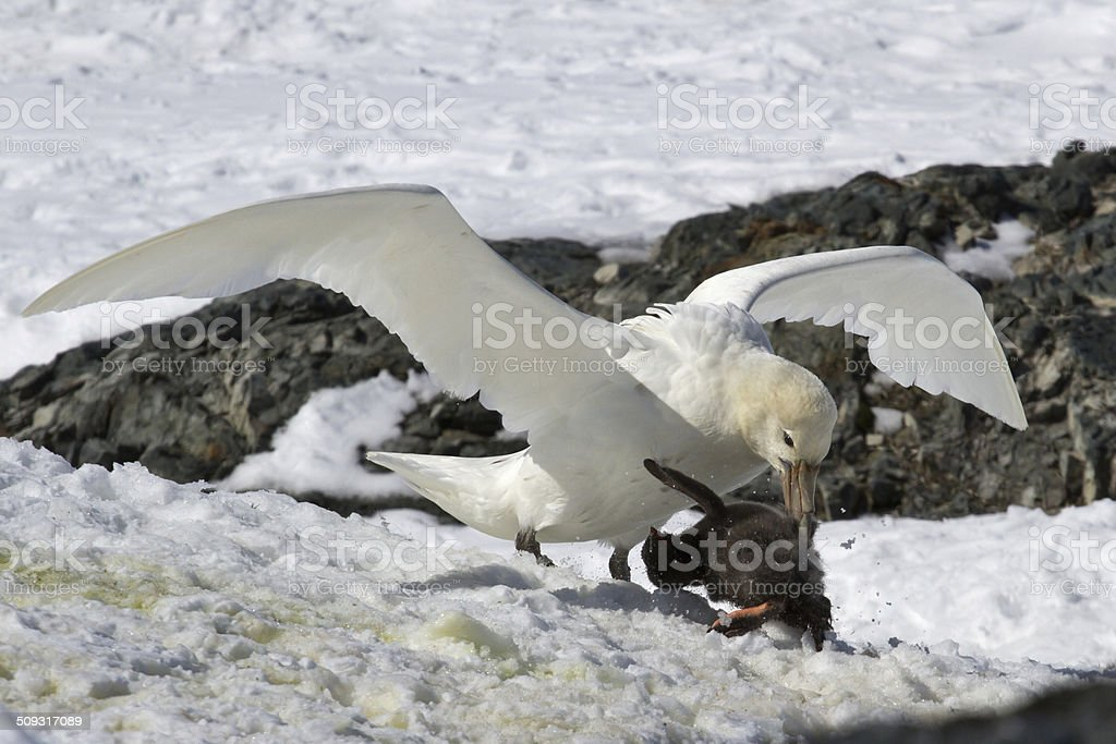 southern giant petrel white morphs who eats Adelie penguin chick stock photo