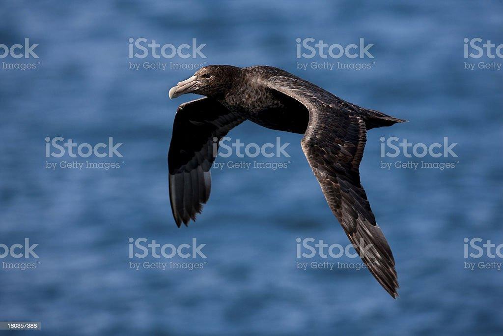 Southern Giant-Petrel stock photo