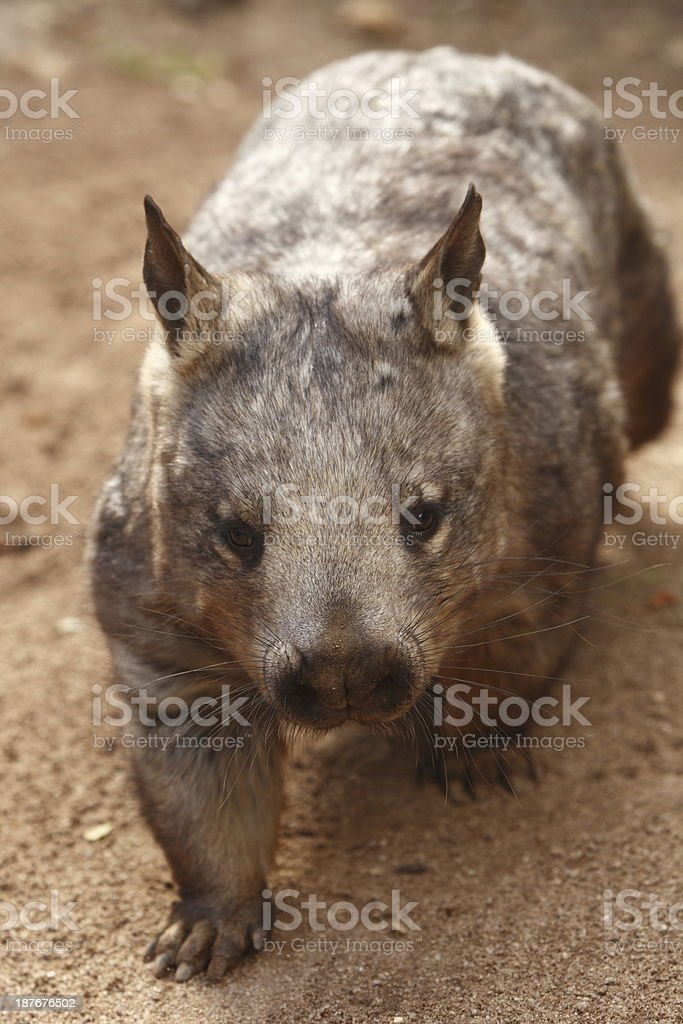 Southern Hairy Nosed Wombat stock photo