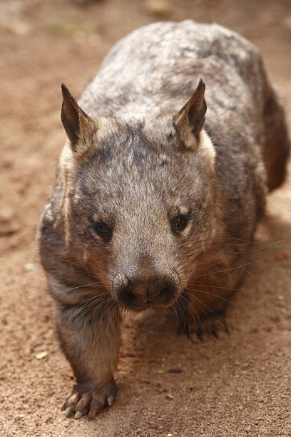 southern hairy nosed wombat - wombat stock photos and pictures