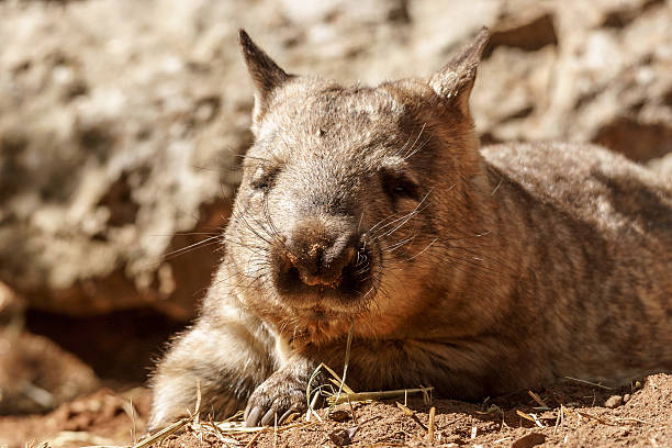 southern hairy-nosed wombat - wombat stock photos and pictures