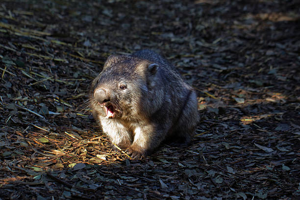southern hairy-nosed wombat walking and yawning - wombat stock photos and pictures