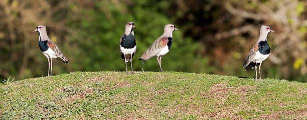 Bronzekiebitz Vögel Gruppe – Foto