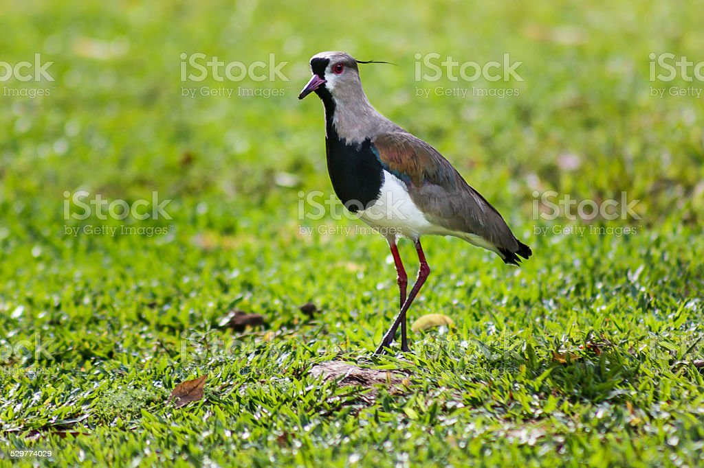 Southern Lapwing Standing in Green Grass Floor on Sunny Morning stock photo