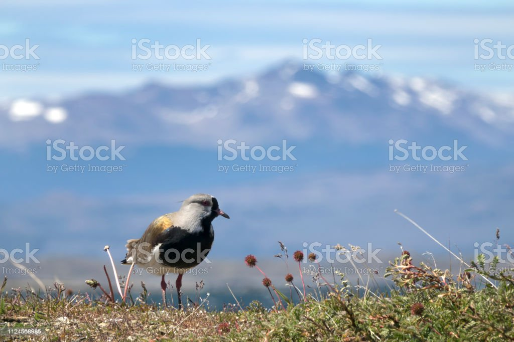 Southern Lapwing Ushuaia Argentina Montes Sampaio mountains Hoste Island Chile stock photo