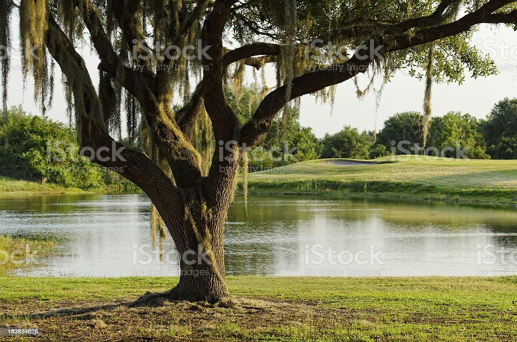 Southern Live Oak Tree with Spanish Moss stock photo