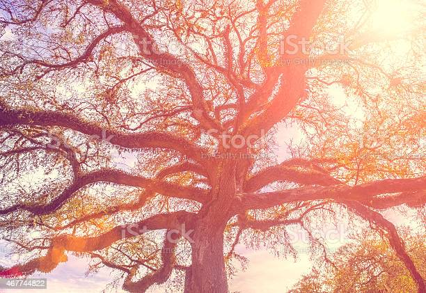 Photo of Southern live oak tree with widely spread branches, dreamy vinta