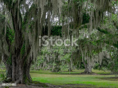 grove of southern live oak trees with Spanish moss in south Louisiana