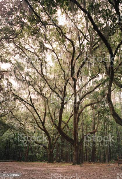 Photo of Southern Live Oaks with Spanish Moss reach for the heavens