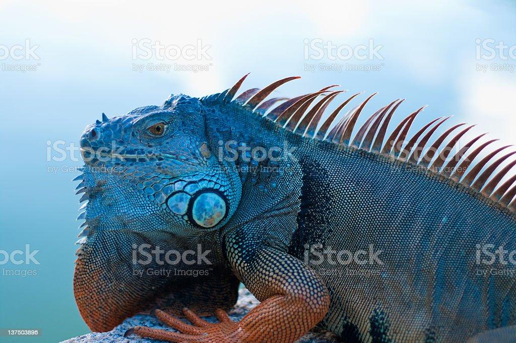 southern lizard stock photo
