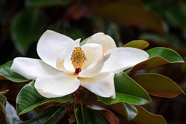 южный магнолия blossom - magnolia стоковые фото и изображения
